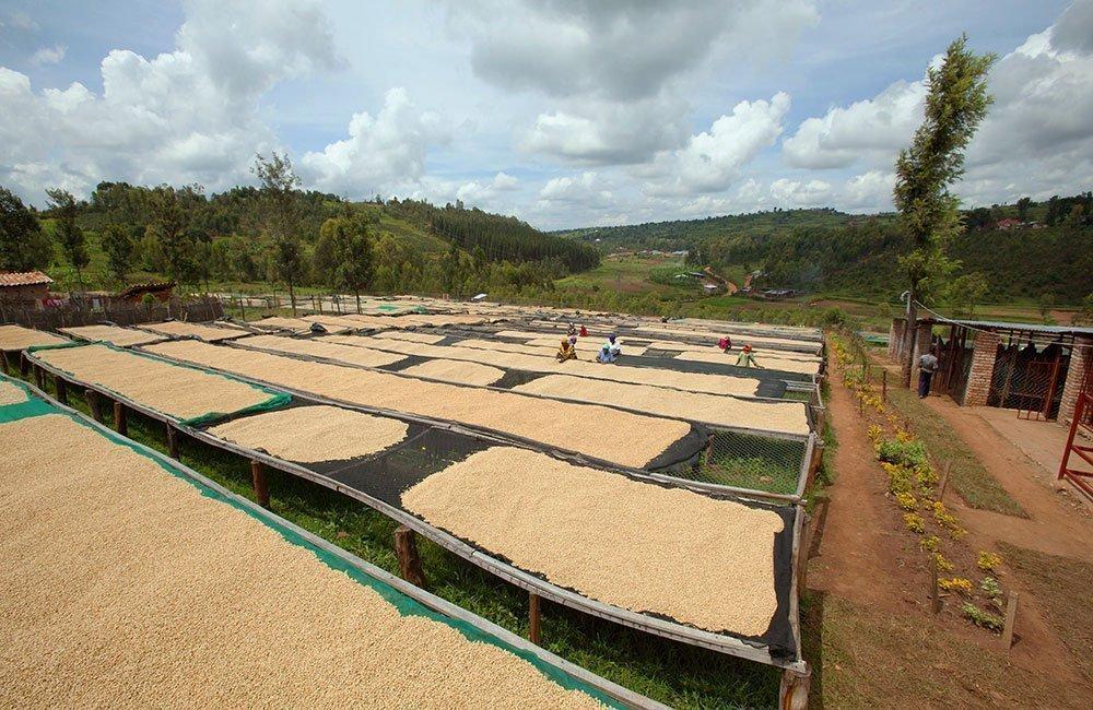 Huye Mountain. Café de la ladera del monte Huye al sur de Ruanda.