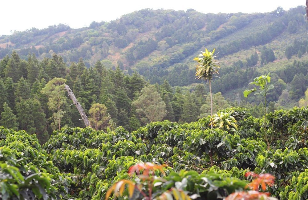 El café de El Perezoso de West Valley en Costa Rica