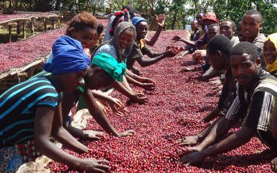 Great Ethiopian coffee thanks to the effort of Binitu Ambela's smallholders