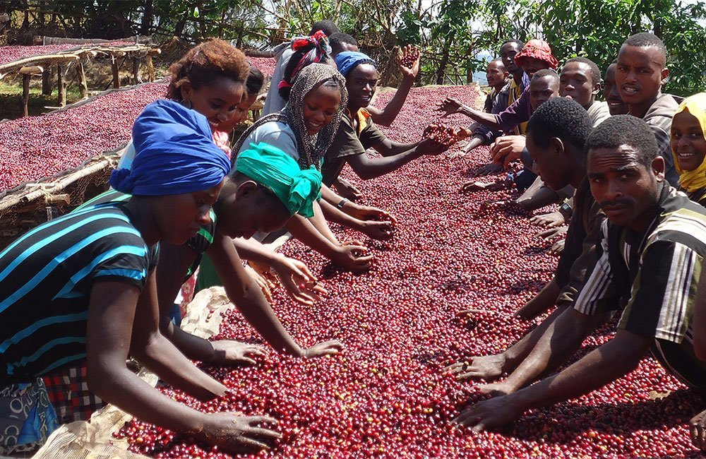 Great Ethiopian coffee thanks to the effort of Binitu Ambela´s smallholders. Ambela washing station provides an income for 6000 coffee smallholders that live in the Binitu Ambela district, Guji zone, Ethiopia.