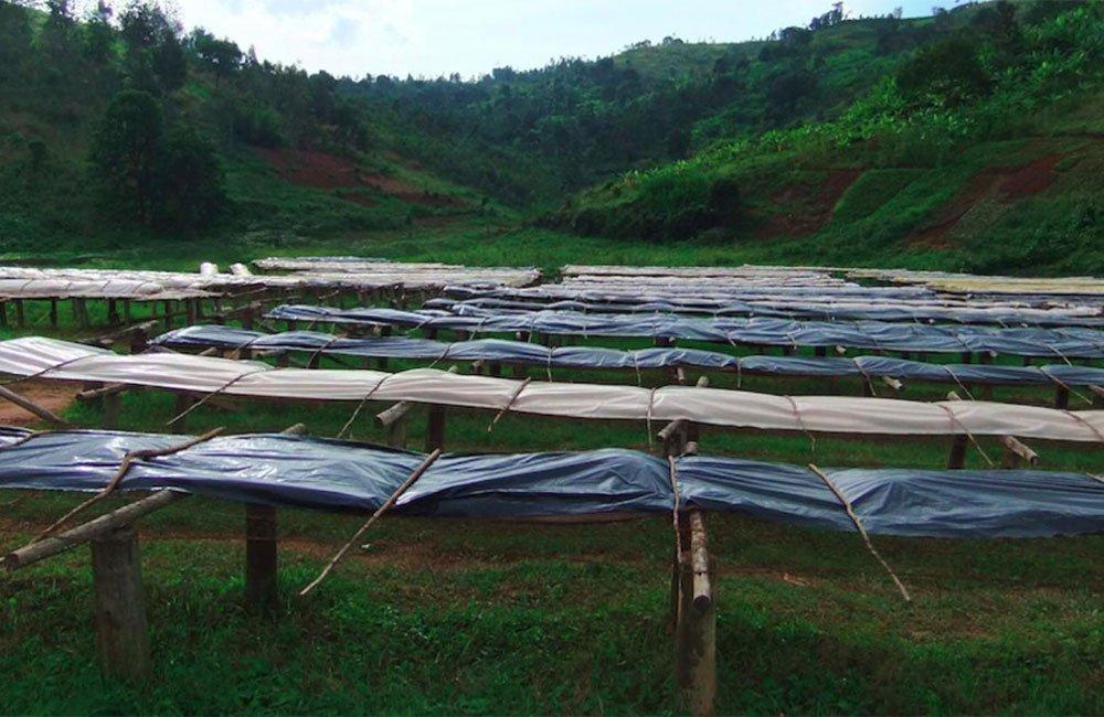 Gran café de especialidad de Burundi gracias al excelente trabajo de Ngogomo