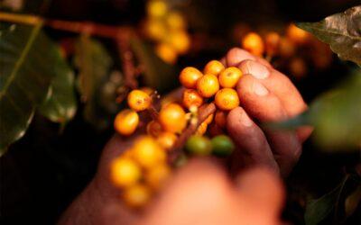 Specialty coffee from Sao Silvestre Brazil