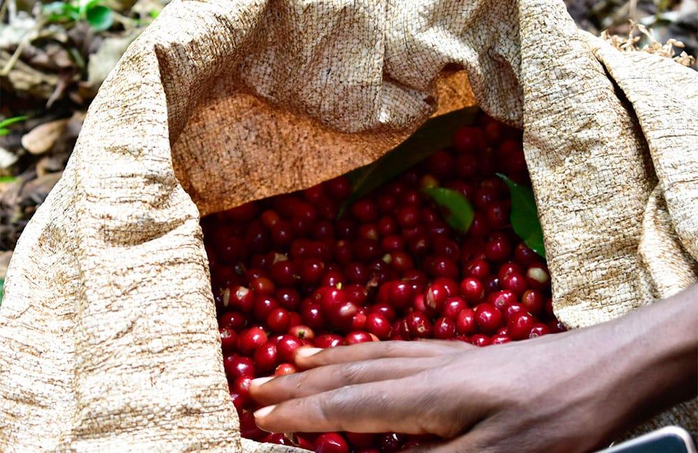 Plantas de café de especialidad con baya madura