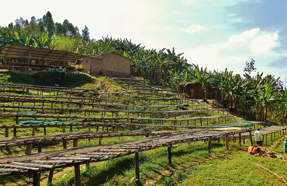 African/elevated drying beds for specialty coffee in Matyazo, Rwanda