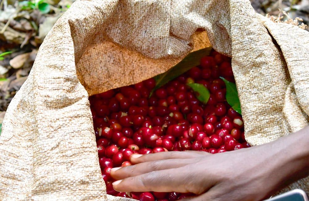 Banko Gothigi Ethiopia 2020 harvest from Yirgacheffe.
