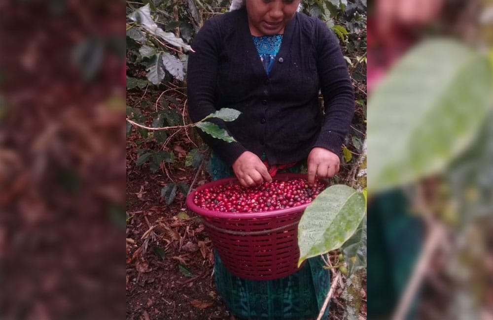 Yulchen Guatemala specialty coffee harvest 2020