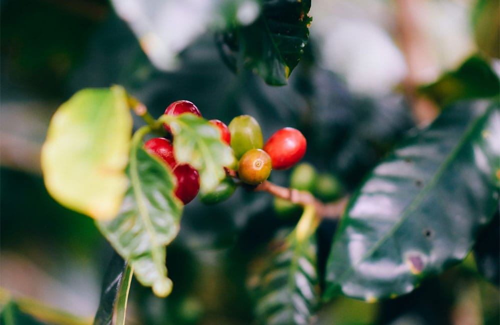 Coffee berries ripening on the plant