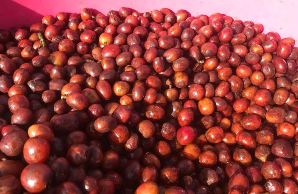 Pink Bourbon extremadamente dulce de la finca Las Delicias en Colombia
