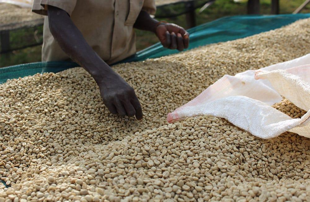 Café excepcional con lavado anaeróbico de Nemba en Burundi