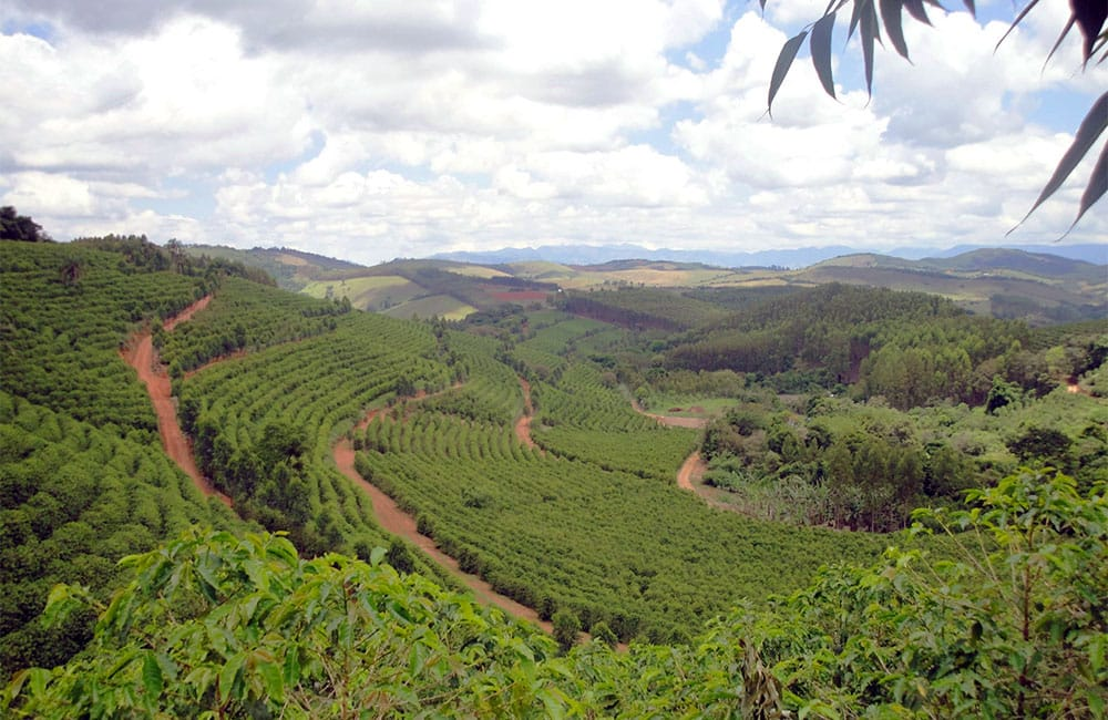 Pe de Cedro Brazil specialty coffee harvest 2020