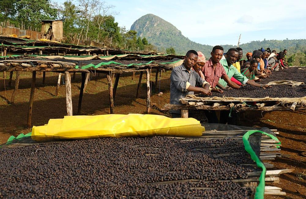 Café Daanisa Etiopia