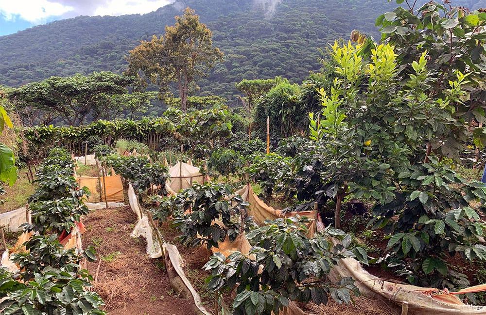 Lombardía El Salvador cosecha 2021